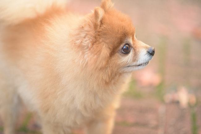 puffy puppy